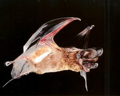 Sonoran Desert mammals - Big free-tailed bat - Tadarida macrotis