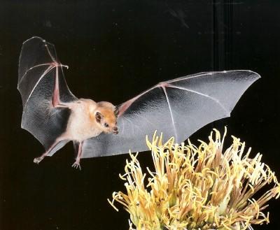 Sonoran Desert Mammals Lesser Long Nosed Bat