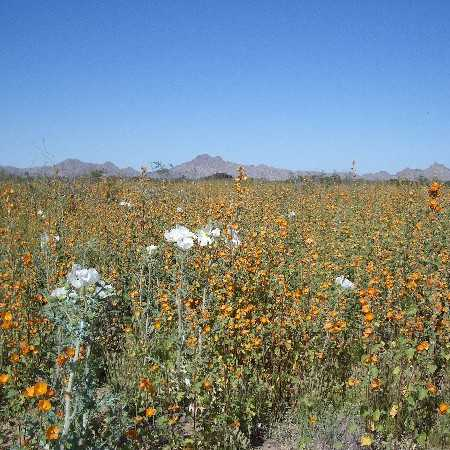Prickly poppy, Globe mallow (orange)