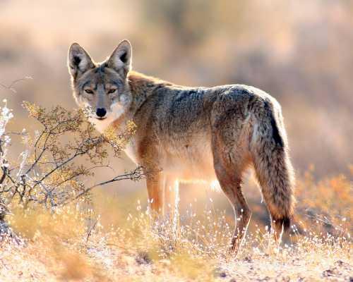 Desert coyote pictures - photo#10