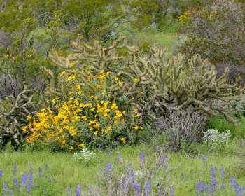 Brittlebush (yellow), Coulter's lupine