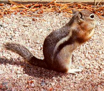 Harris antelope squirrel
