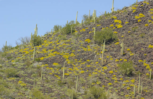 Burro Gap and brittlebush
