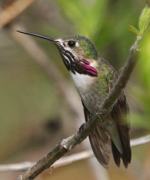 Calliope hummingbird (male)