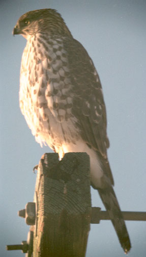 Coopers hawk (adult)