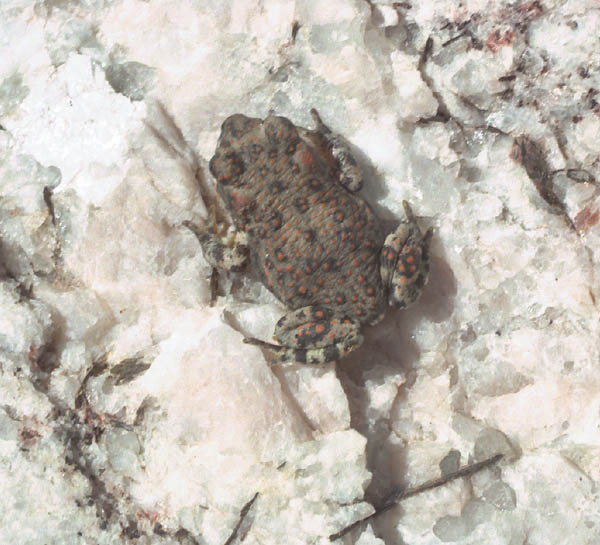 Crystal Springs red-spotted toad