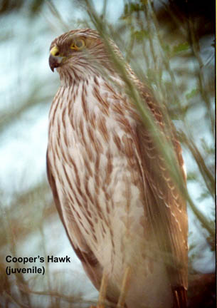 Coopers hawk (juvenile)