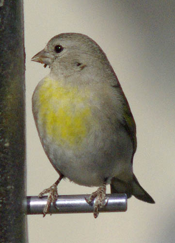 Lawrence's goldfinch (female)