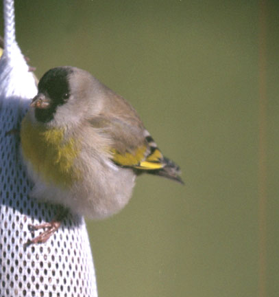 Lawrence's goldfinch (male)