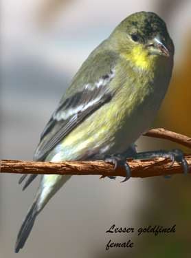 Lesser goldfinch female)