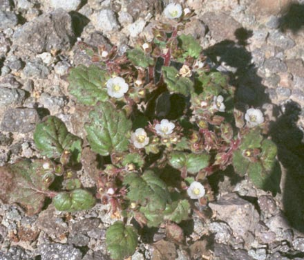 Phacelia neglecta